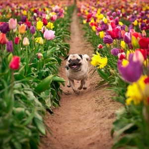 l-amazing-photo-pug-and-tulips